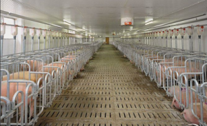 10万头生猪养殖基地落户新疆兵团二十九团