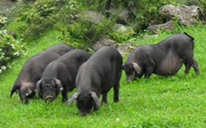 山东淄博:信贷资金做后盾 生态黑猪闯市场