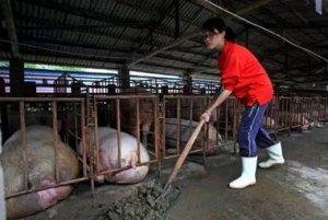 浙江:美女大学生毕业养猪年入百万成最美猪倌