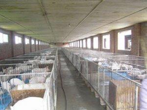 看看吉林东丰镇的养猪示范户