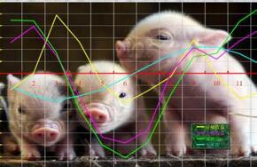 如何算养猪效益,秦英林来教你!
