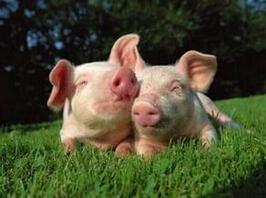 猪病治疗与预防新理念