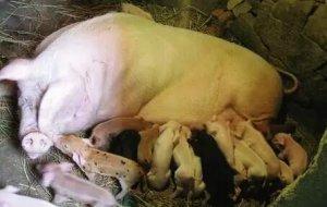 妊娠母猪产前不食到底是为什么呢?怎么预防?