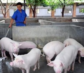 老刘养猪故事――养猪真得很难吗