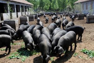 王海英:凭借养殖黑猪走上了一条发家致富的道路