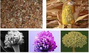 呕吐毒素超标对猪肠道健康的影响