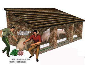为增加资产以申请贷款,养猪户深夜偷来六头猪