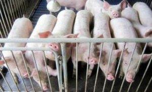 美国:在第二季度总会有某些因素会影响生猪的供应量
