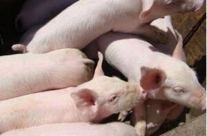 对英国生猪群收益来讲细节决定成败