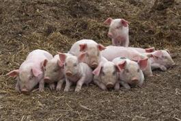 英国总体生猪养殖规模表现出一定程度的缩小迹象