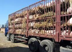 关于家畜运输时间的担忧是否毫无根据?