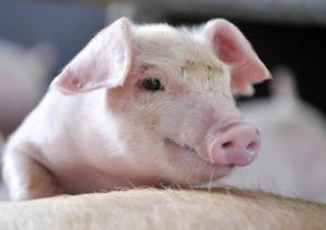 生猪养殖聚焦集约化龙头化