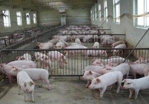 猪场日常管理需要注意的细节
