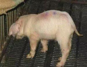 猪病治疗无效的原因分析及对策研究