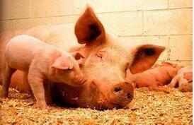 如何解决母猪产后不发情的难题