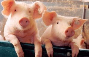 """猪肉价疯涨 """"养猪如'炒股'需摸准市场行情"""""""