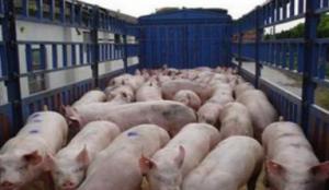 中粮肉食投资二期30万头生猪项目开建