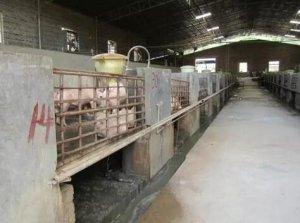 猪场内部污染及消毒意识淡薄已成为中小猪场传染病发生和流行的重大安全隐患
