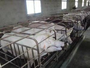 母猪非生产天数在生产中的实际应用!收藏