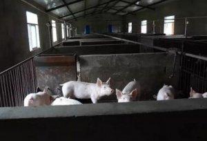 猪场最头疼的一种病,副猪嗜血杆菌病的防治!真实用!