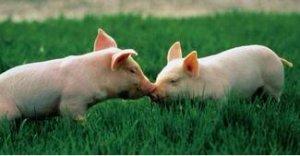 仔猪消化不良的防治技术