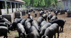 200万元保种选育里岔黑猪