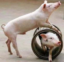 洗牌后的生猪产业 未来出路在哪儿?