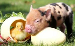 从猪周期到鸡周期 养殖业的春天来了