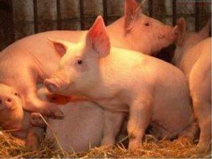 限制我国养猪业发展三大原因:疫苗、技术、 管理