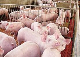 美国生猪存栏较去年3月有所增长