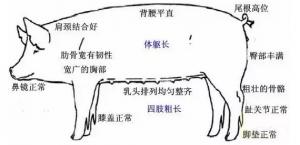 后备母猪是猪场生存的命根子,莫要忽视它!