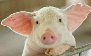 辽宁省4月份生猪价格仍看涨 9月份或有所回落