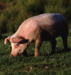 后备母猪的挑选和管理秘籍!