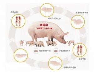 """摆脱""""猪周期""""需要市场信息及时传导"""
