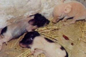 小猪红痢的分析与防控