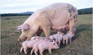 CME:美国生猪出栏量再次发生向上修正