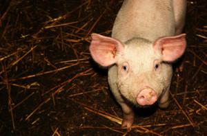 苏格兰生猪供应商大力支持新的生猪健康章程