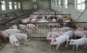 马尼托巴新建育成猪猪舍将增加附加加工价值