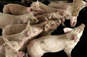 美国干旱和猪瘟导致加拿大肉品价格走高