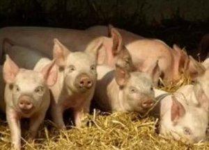造成仔猪生长速度慢的六个罪魁,你知道几个?
