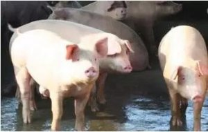 猪生物钟比人快,一星期只有5天