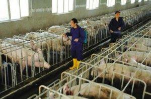 """看看养猪中的""""细节""""能帮您省多少钱?"""