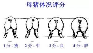 配种中期(30-75d)好多人轻视了(母猪技术篇)