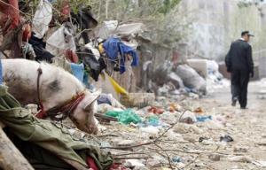 河南郑州79岁猪倌在马路边养猪 猪不在圈里在路上跑来跑去
