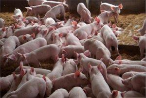 曼尼托巴省新修整的的猪圈可饲养断奶仔猪