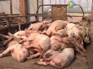 山东兰山区杜家庄村400头猪的疫苗惨案