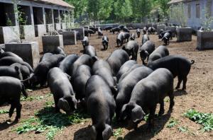 广西:德保发展黑猪养殖助力农民脱贫
