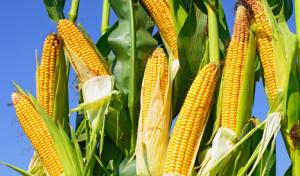 玉米价格市场化:牵一发而动全身