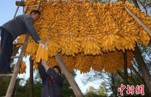 """农业部谈玉米收储新政:""""市场化收购""""加""""补贴"""""""