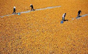 农业部:今年整合35亿资金重点支持玉米结构调整